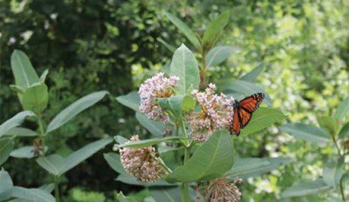 Monarch in Peekskill